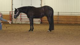Black Quarter Horse in Omaha, NE