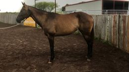 Brown Quarter Horse in Victoria, TX