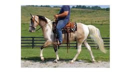 Buckskin Tennessee Walker in Mount Vernon, KY