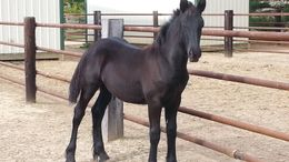 Black Friesian in Charleston, IL