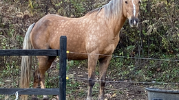 Palomino Kentucky Mountain Saddle Horse in South Point, OH