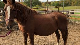 Chestnut Quarter Horse in Richmond, MN