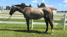 Grey Thoroughbred in Indiantown, FL