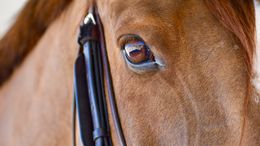 Chestnut Irish Sport Horse in Burbank, CA
