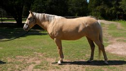Palomino Missouri Fox Trotting Horse in College Station, TX