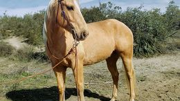 Palomino Quarter Horse in Saint Paul, MN