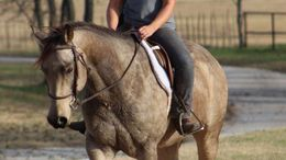 Buckskin Quarter Horse in Atlanta, GA