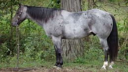Roan Quarter Horse in Little Rock, AR