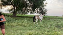 Pinto Tennessee Walker in Declo, ID