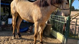 Buckskin Andalusian in Los Angeles/Compton, CA