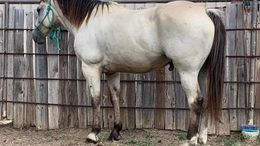 Buckskin Quarter Horse in Kansas City, KS