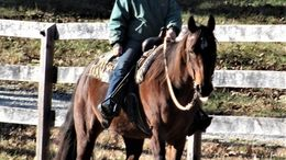 Roan Quarter Horse in Memphis, TN