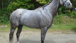 Grey Thoroughbred in Spencer, NY