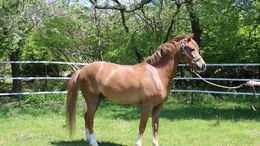 Chestnut Welsh Cob in Berkeley, CA