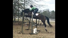 Bay Hanoverian in Aiken, SC