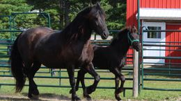 Black Friesian in Lincoln, ME