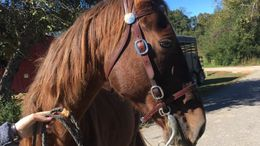 Chestnut Tennessee Walker in Corryton, TN