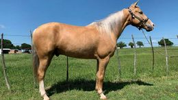 Palomino Missouri Fox Trotting Horse in Phoenix, AZ