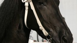 Driving Horses for Sale - Equine com