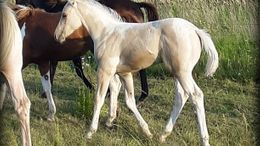 Palomino Paint (Tobiano) in Willamina, OR