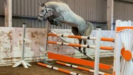 Grey Dutch Warmblood in Nottingham, PA