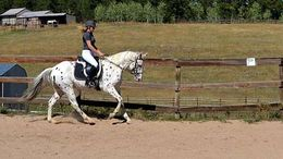 White Appaloosa in Huoston, TX
