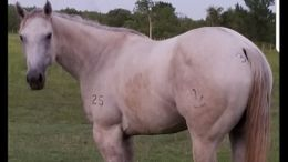 Grey Quarter Horse in ROSHARON, TX