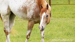 Sorrel Appaloosa in Dallas, TX