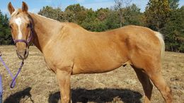 Palomino Quarter Horse in Linn Creek, MO