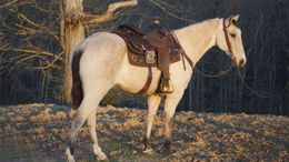Buckskin Tennessee Walker in South Bend, IN