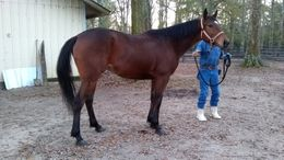 Bay Thoroughbred in Carriere, MS