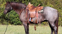 Roan Quarter Horse in New Orleans, LA