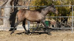 Grey Andalusian in Acton, CA