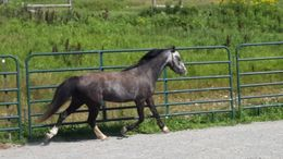Grey Welsh Pony in Union Dale, PA