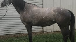 Grey Thoroughbred in St. Johns, MI