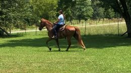 Sorrel Tennessee Walker in Hohenwald, TN