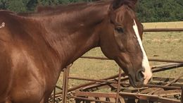 Sorrel Quarter Horse in Grapeland, TX