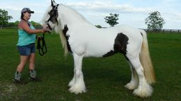 Silver Dapple Gypsy Vanner in Brooksville, FL