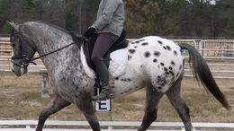 Black Appaloosa in Cheyenne, WY