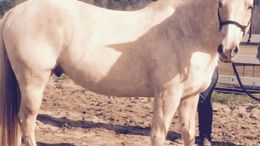 Palomino Quarter Horse in Sharon, SC