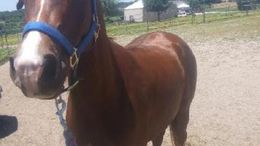 Chestnut Arabian in Leitchfield, KY