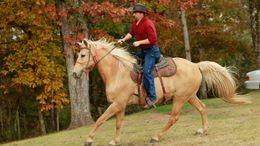 Palomino Missouri Fox Trotting Horse in Greenback, TN