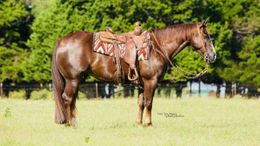 Chestnut Quarter Horse in Virginia Beach, VA
