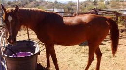 Chestnut Half-Arabian in Wikieup, AZ