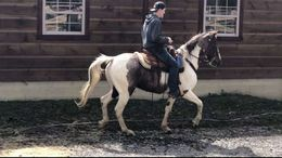 Other Tennessee Walker in Houston, TX
