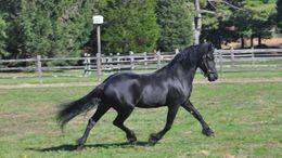 Black Friesian in Pembroke, MA