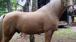 Palomino Kentucky Mountain Saddle Horse in Jamestown, TN