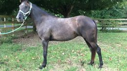 Grey Tennessee Walker in Cleveland, TN