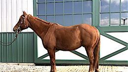 Sorrel Quarter Horse in Farmingdale, NJ