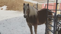 Chestnut Haflinger in West Newbury, MA